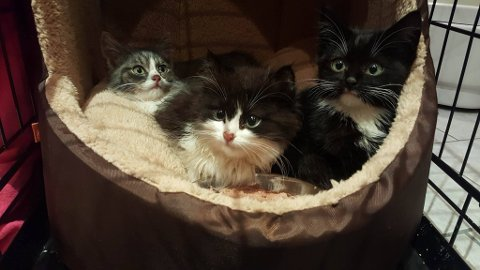 Tre av kattungene som ble funnet på vestsida lørdag. - Vi tror de er mellom åtte og tolv uker gamle, sier Rita Halvorsen i Hjelp pus Hadeland