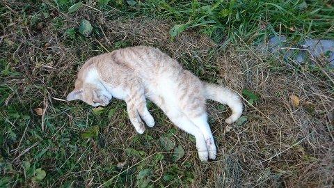 DØD: Denne hannkatten ble mandag funnet død ved Hasvoldseter.