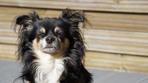 STOPPET TOGET: Vi hadde først en lyshåret illustrasjon-chihuahua i denne saken, men etter vitneobserbasjoner vet vi nå at hunden som er på rømmen ligner mer på denne versjonen.