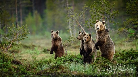 """Denne bjørnefamilien holder til et sted i Nord-Finland mot grensa til Russland, og hjalp Bjørn Stuedal til å bli """"Wildlife Photographer of the Year 2019"""""""