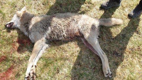 FELT: Bildet viser ulven som ble felt lørdag 2. mai i Enger i Søndre Land.