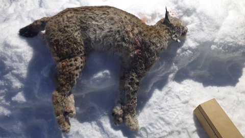 FØRSTE GAUPA: Denne unge hunngaupa ble skutt mandag ettermiddag nord for Fagernes.