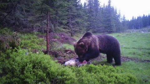 Må tas ut: En bjønn er observert på Brøttum. Nå vil beitenæringa og landbrukssjefen ta den ut før den begynner å gjøre skade i saueflokkene som slippes ut disse dager. Det har de får nei til. Bjørnen på bildet herjet i Ringsakfjellet sommeren i 2017 før den ble tatt ut i september.