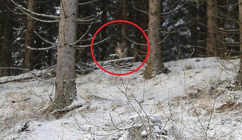Ulv sett ved Rausjøveien: Nils-Yngve Nilsen rakk å stille inn kamera, men ikke zoome før dyret forsvant for to uker siden.  FOTO: NILS-YNGVE NILSEN