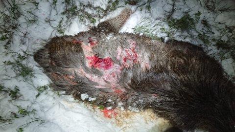 Elgen fikk store skader av angrepet, og ble senere avlivet.