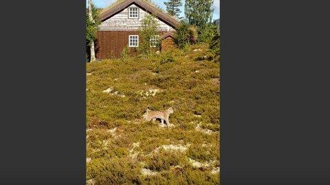 SJELDENT DYR: Det er ikke ofte man ser denne skapningen ute i de norske skoger.