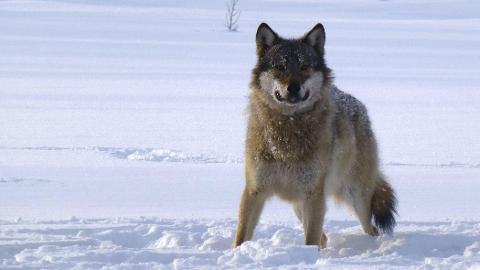 Slettås: Det er full fart igjen i Slettås-flokken. Ny hanulv er kommet og det er nå registrert elleve dyr i reviret. Her en av dyra i et tidligere valpekull.FOTO: SKANDULV