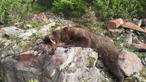 SKUTT: Denne bjørnen ble skutt fredag morgen i Solør. Alder og størrelse er foreløpig ikke gitt, da SNO ikke har undersøkt kadaveret enda. (Foto: Kåre Holter)