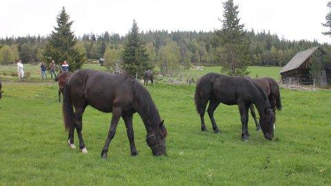 SKREMT AV LYNNEDSLAG: To av de fem travhestene til Ole Sylte Heggset som er på rømmen i Alvdal. (Foto: Privat)