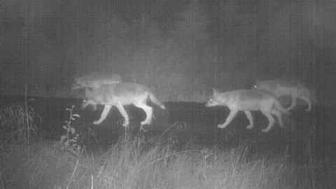 BEKYMRET: Disse fire ulvevalpene, som alle tilhører Kynnaflokken, bekymrer mange jegere i Elverum. Bildet er tatt av et av NINAs mange viltkameraer i Elverum, i slutten av august.