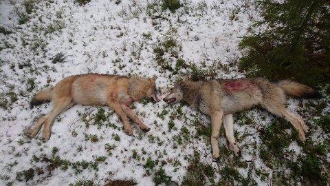 TO ULVER SKUTT: Disse to ulvene ble skutt i Stor-Elvdal onsdag. Foto: Lars Gangås, Statens naturoppsyn