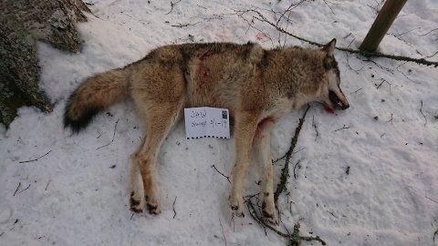 Det var ei ulvetispe på 33,5 kilo som ble skutt torsdag.