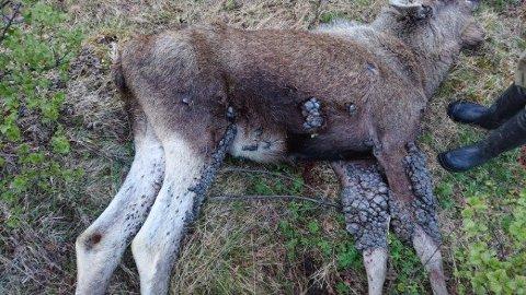 REAGERTRE: Lokale beboere på Tamneset reagerte på mengden vorter på elgen. Foto: Hans Iver Kojedal
