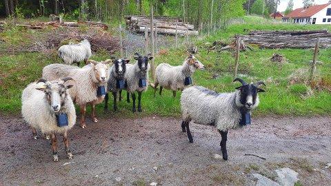 Disse frittgående sauene kan du møte på Veierland i sommer.