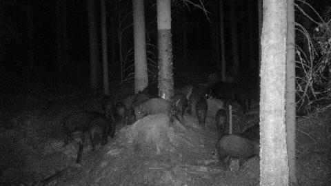 FANGET PÅ KAMERA: Denne flokken på nærmere 15 villsvin ble fanget på et viltkamera i nærheten av Sølvskutt i Degernes forrige søndag.