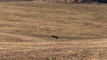 KOM SEG UT: Statens naturoppsyn forteller at ulven kom seg ut av innhegningen på egenhånd etter de la til rette for det.