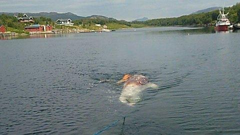 Hvalen på fem meter ble sprengt og senket.