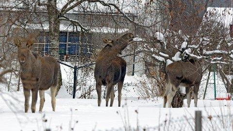En elgku fulgte etter en fotgjenger som løp hjem. Dette skjedde i Brumunddal onsdag ettermiddag. Arkiv.