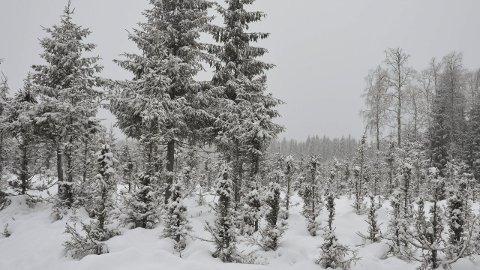 Beiteskader: Trærne er snauspiste til langt oppover stammene. Registreringen viser at andelen trær det var beitet på er det høyeste NIB har registrert.