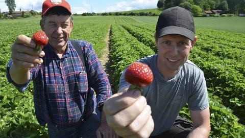 Modne: Nå er jordbær fra Ringsaker i butikkene. Ørnulf og Roar Austdal håper på en god sesong, sjøl om det skal noe til å slå fjoråret.Foto: Jeanette Sandbæk Håland