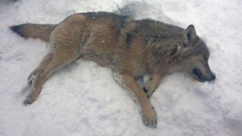 Samtidig med at ulvedebatten raser i Norge, ble denne ulven felt i Ringsaker. Den andre ulven som er skutt i Ringsaker siden 1860, endte med det lisensjakten i Hedmark