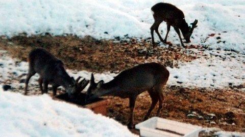 Må mates: Snøen dreper rådyra. Nå må de fores.