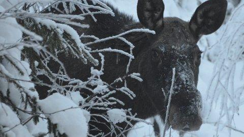 Elgbestanden: Den harde vinteren har vært med på å redusere elgbestanden i Ringsaker.. Derfor får jegerne også den laveste elgkvoten på 14 år i høst.