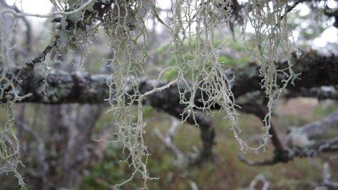 Fra Vikerfjell i Buskerud. Området har store og nasjonalt viktige leveområde for den sårbare lavarten mjuktjafs. Vern er viktig for å hindre at arten forsvinner fra norsk natur.