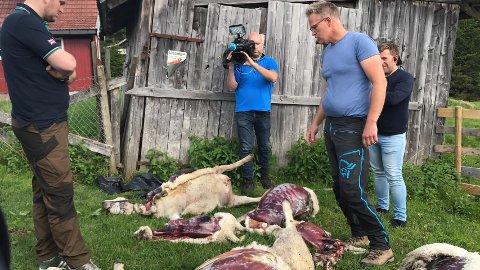 Arne Bilden viser landbruksministeren sauekadavre fra angrepet på Helgedalen.