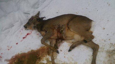 Rådyret som nylig ble avlivet i Jevnaker kommune hadde vommen full av fôr.