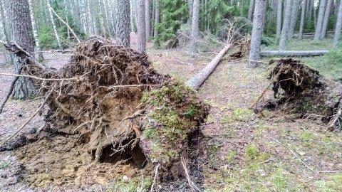VINDFALL: Mange trær gikk over ende da ekstremværet Elsa kom inn over distriktet. Dette treet lå på Kringlemoen i Hønefoss.