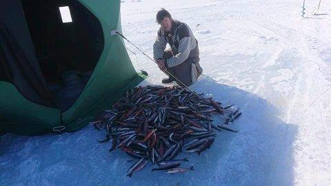 TRAVELT: Bjørn Erik Gyberg hadde det travelt på isen i dag. Når du drar opp 436 røyer har du nesten ikke tid til annet enn å fiske.