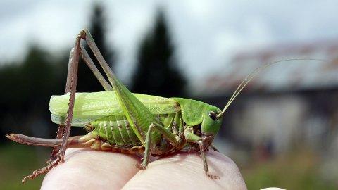 SJELDNERE: Slåtteenger har et insektliv uten sidestykke. Her trives store gresshopper som vortebiteren. Foto: Rune Fjellvang