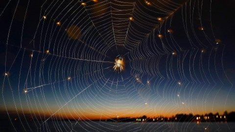 SPISER SKADEDYR: Edderkoppene tar rotta på skadedyr og fanger byttet i nettene sine. Foto: JOHAN NILSSON / NTB scanpix