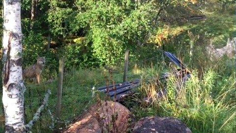 ULV OG SAU: Her står en av de to ulvene rett utenfor gjerdet, mens sauen til høyre løper unna. FOTO: PRIVAT