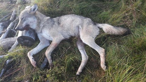DYR ULV: Svenskeulven som herjet på Øvre Romerike, Hadeland og Toten kostet 24 millioner kroner. Det meste av dette beløpet utgjøres av tiltak som hindret ulveangrep på husdyr, først og fremst hjemmebeite. Her er ulven nettopp felt i Østre Toten. Foto: SNO