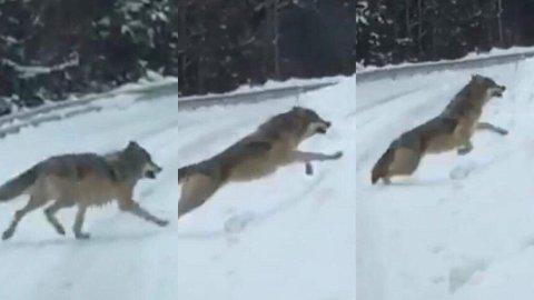 I SPRANGET: Rett foran Knut og kona dukket ulven opp. FOTO: PRIVAT