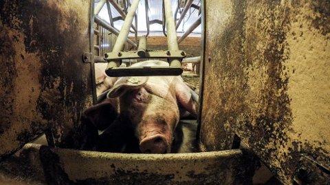DOKUMENTAR: En gris fra filmen NRK viste onsdag kveld. Foto: Piraya Film / NRK
