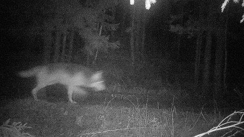 FILMET: Denne ulven ble fanget på film nordvest for Sagstusjøen i Nes lørdag kveld.