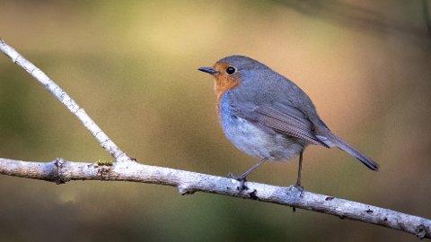 Rødstrupe. De aller fleste trekker ut av landet om høsten, men milde vintre gjør at den overvintrer i økende antall.