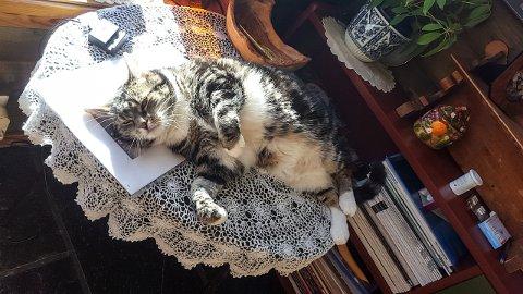 BORTE VEKK: Molly er drøye 13 år og sky mot ukjente mennesker. Hun forsvant under et opphold hos Toves Kattepensjonat på Furustad i juli.
