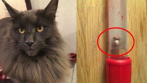 SKUTT: Katten Chelsea ble søndag funnet hardt skadd av forbipasserende. Den to år gamle katten hadde blitt skutt av et luftgevær og kulen (markert med rød ring rundt) måtte opereres ut. Dessverre døde katten kort tid etter operasjonen.