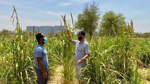 JULI: Kornavlingen nærmer seg klar til innhøsting. I slutten av mars var området dekket av ørkensand, og det var ikke noe grønt å spore utenom testfeltet i bakgrunnen med trær.