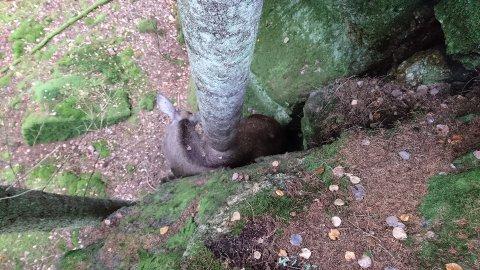 KILT FAST: Frida Karlsson, som tok bildet, tror elgen har dødd raskt etter fallet - blant annet fordi brystkassen var klemt inn.