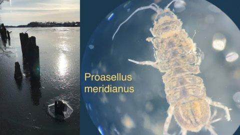 OPPDAGET: Den spesielle ferskvannskrepsen ble oppdaget i Glomma i nærheten av Sarpsborg våren og høsten i fjor.