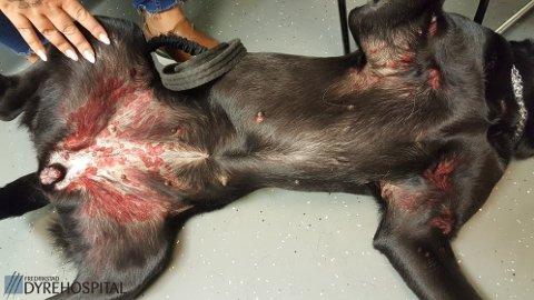 TUNEFLUE: Denne hunden har blitt stukket av tuneflua. Det er vanligvis ikke farlig for hunder, men i sjeldne tilfeller kan det føre til pustebesvær og blodtrykksfall.