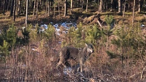 Ulven sto i veikanten, tilsynelatende usjenert av fotografen som fikk knipse bilder før den fartet videre.