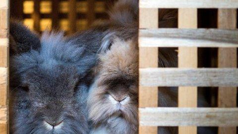 Liam og Lilo har sittet atskilt i små bur hele livet. Nå skal de få leve sine siste dager med god boltreplass hos Krogstad.