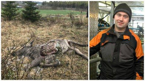 Elgekadaveret ble funnet bare 80-90 meter fra gården til Øyvind Brandsrud. Mellom gården og skogkanten beiter kyrene hans.