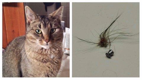 Da Ingvill Ulsness kom hjem til katten sin Ibsen , fant hun han med en luftgeværkule i kroppen.